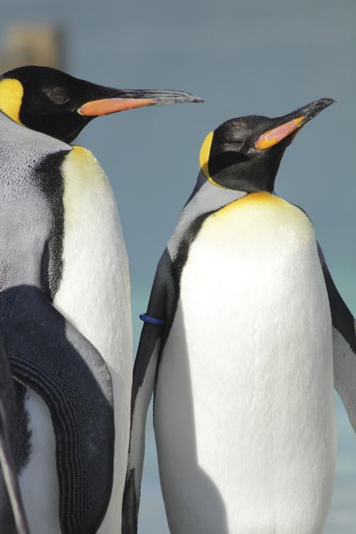 葛西臨海水族園 オウサマペンギン