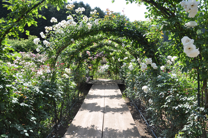 春のバラまつりのバラのトンネル風景