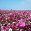 首都圏最大規模!荒川河川敷一帯をピンク色に埋め尽くす約1,000万本のコスモスがそろそろ見ごろに(鴻巣市)
