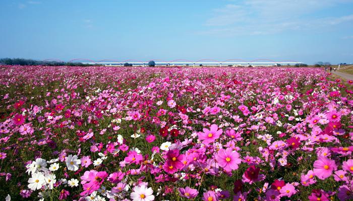 首都圏最大規模!荒川河川敷一帯をピンク色に埋め尽くす約1,000万本のコスモスが見ごろに(鴻巣市)