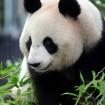 上野動物園 パンダの「シンシン(真真)」