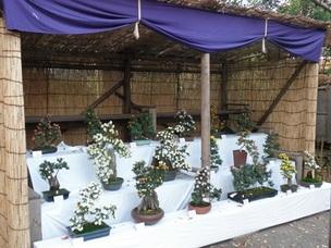 小菊盆栽の展示(昨年の様子)