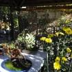 向島百花園 菊が彩る江戸花屋敷