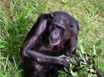チンパンジーのベロ  画像は東京都提供