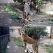 多摩動物公園に姉妹のチーター2頭がやってくる!(群馬サファリパークから)