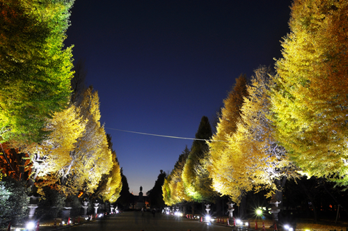 ライトアップされた夜のイチョウ並木が幻想的な東京・靖国神社