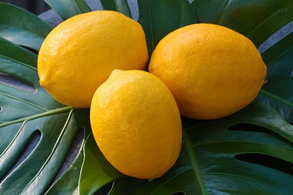 まるまるとした美味しそうなレモン。