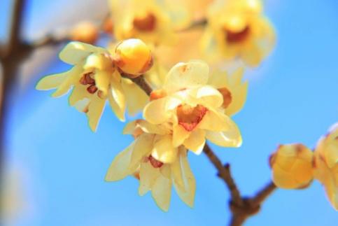 薄黄色で甘い香りの「ロウバイ」