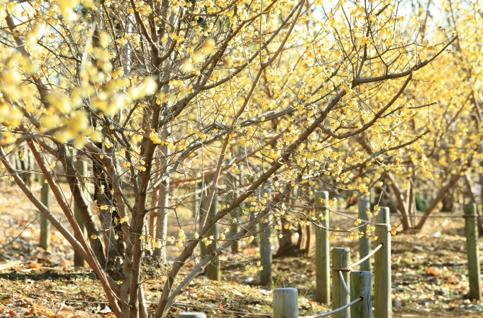 「ロウバイの小径(こみち)」には約90本のロウバイが植えられている