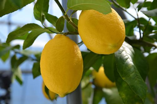 まるまるとした美味しそうなレモン  画像:©