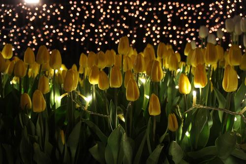 2万株の冬咲チューリップが咲き誇るプログラム「江の島ウインターチューリップ」