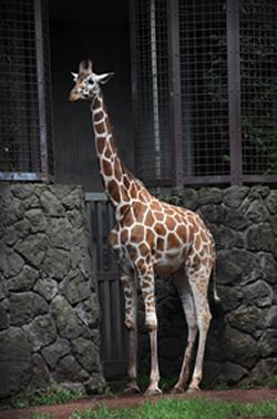上野動物園でキリンの「コハル」が死亡 17歳 死因は獣医師が診断中