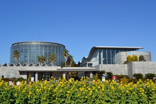 玄関前の「前庭花壇」が寒咲ハナナ(冬咲きの菜の花)で明るい黄色に埋め尽くされる