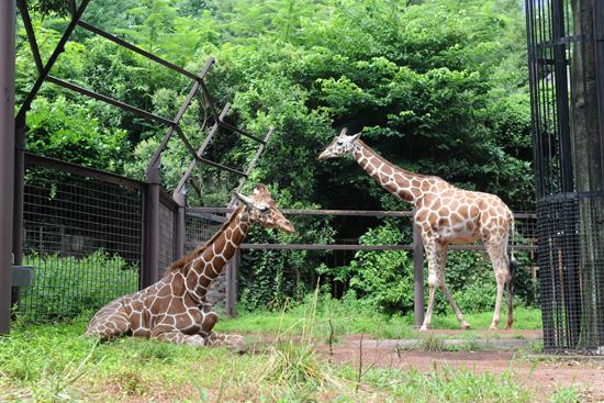 キリンのコハル(メス、14歳)とヒナタ(オス、1歳)