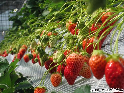 人気の紅ほっぺ・章姫・彩のかおり・とちおとめなど約64,000株のいちごを栽培