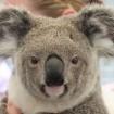 オーストラリアからコアラ3頭が来園 東松山こども動物自然公園