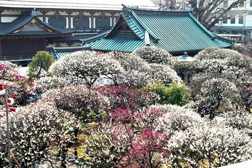 江戸時代より「梅の名所」として多くの庶民に親しまれて来た湯島天神