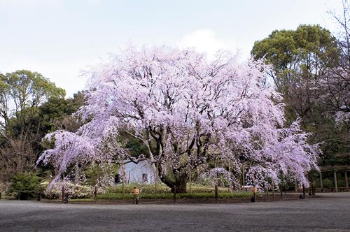 高さ約15m、幅約20mのしだれ桜