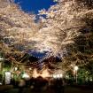 としまえん、毎年人気の「第23回夜桜ウィーク サクラナイト」を3月21日から開催