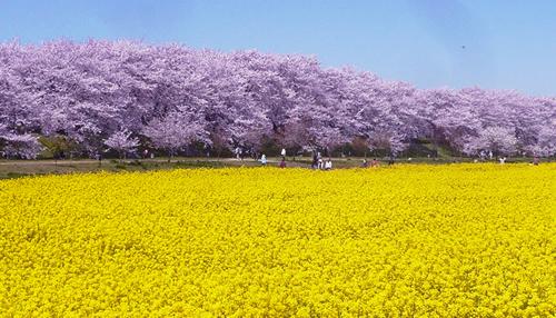 約1,000本の桜のトンネルと一面に広がる菜の花畑