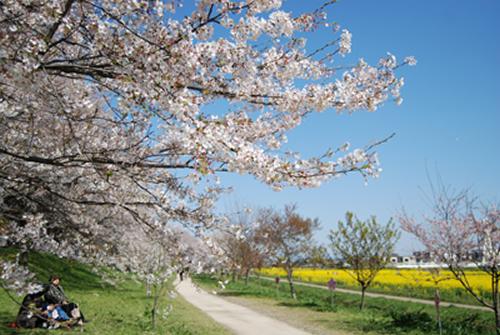 「桜の木の下でのんびり」 穏やかな春の一日、桜の木の下でお弁当を広げてピクニックはいかが。