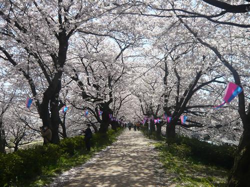 約1kmにわたって続く桜のトンネル