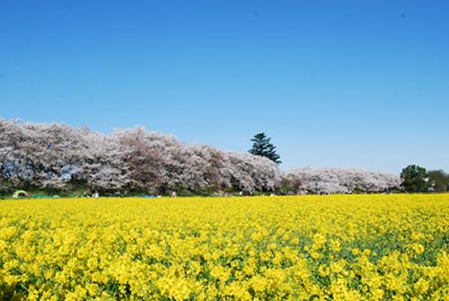 桜のピンクと隣に広がる菜の花の黄色、澄みきった青空の3色コントラストは絶景のひとこと