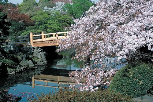 「中の池にかかるシダレザクラ」 千駄ヶ谷門近くの桜園地から芝生広場、中の池、下の池にかけてシダレザクラ、ヤエベニシダレ、コヒガン、オオカンザクラ、シュゼンジカンザクラが見事です。品種によって咲く時期が違い長く楽しめます。
