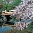 新宿御苑の桜 春の特別開園 3月25日~4月24日