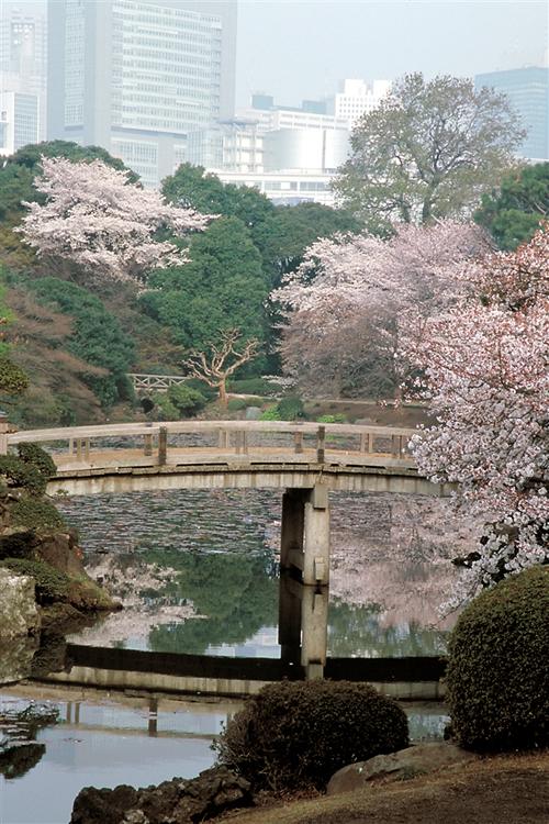 「都内随一の桜の名所 新宿御苑の桜」 都内随一の桜の名所である新宿御苑には、八重桜の「イチヨウ」を代表品種として約65種1,100本の桜が植栽されており、2月のカンザクラから4月下旬のカスミザクラまで楽しめます。