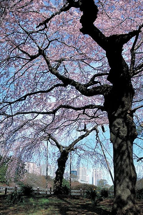 「新宿御苑の桜」 新宿御苑の桜とのゆかりは古く、江戸時代までさかのぼります。明治時代に皇室行事として始まった「観桜会」は大正時代から新宿御苑に移されました。