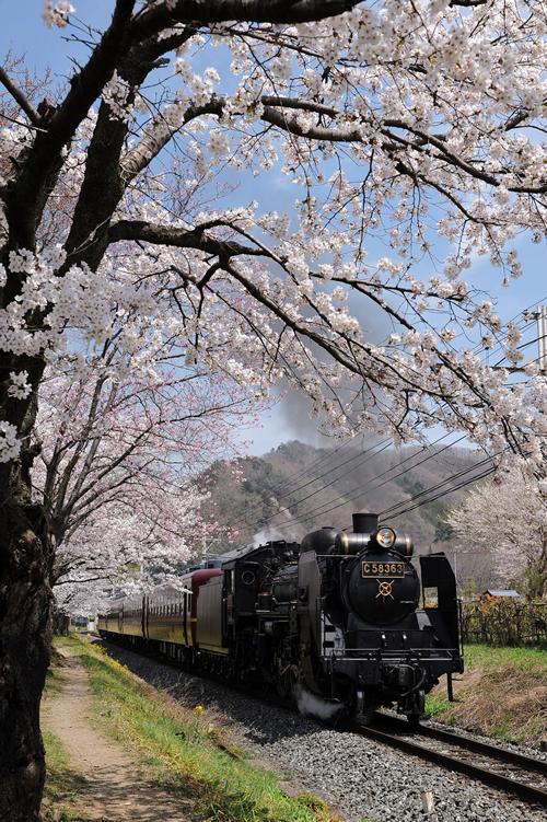 満開の桜の中を走る「SLパレオエクスプレス」