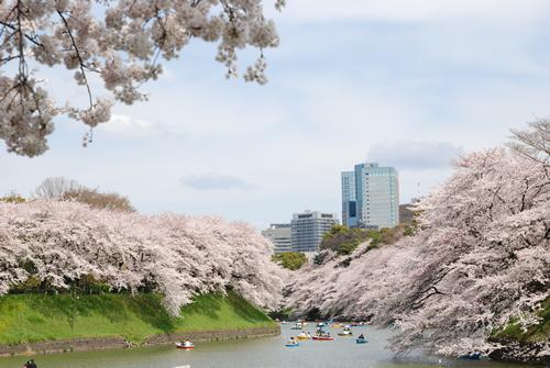 ボートで桜のすぐ下まで漕いでみるのがおすすめ
