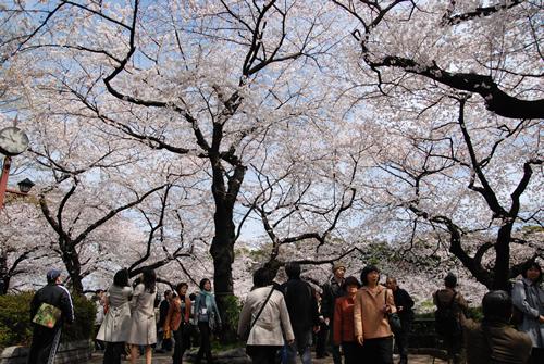 千鳥ケ淵や半蔵濠の土手に並ぶものから、干代田区の管理する千鳥ケ淵公園の桜までを数え合わせると、その数400本以上にのぼる