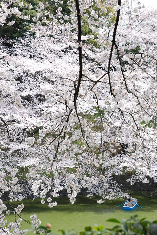 都内随一の桜の名所として知られる「千鳥ケ淵緑道