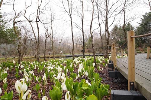 「箱根湿生花園」では約2万株の「ミズバショウ(水芭蕉)」が季節になるといっせいに咲き始める