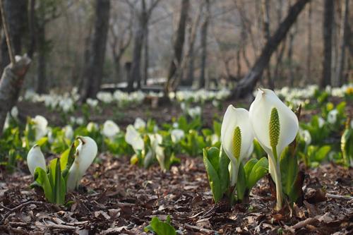 「ミズバショウ(水芭蕉)」白い花びらのように見える部分は苞(ほう)で、苞の中にある棒状の黄緑色のものが花