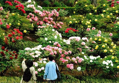 ぼたんは東松山市の花にもなっており市民にも親しまれている