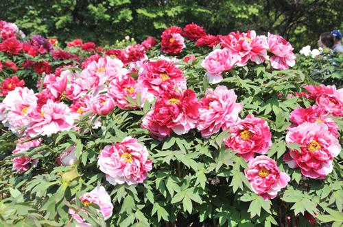 種類は約350種で、一つの花に赤白二つの色があるもの、黒に近いものなど多種多様なぼたんを見ることが出来る