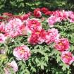 関東有数の「東松山ぼたんまつり2015」が4月25日(土)から。約350種9,100株が色鮮やかに
