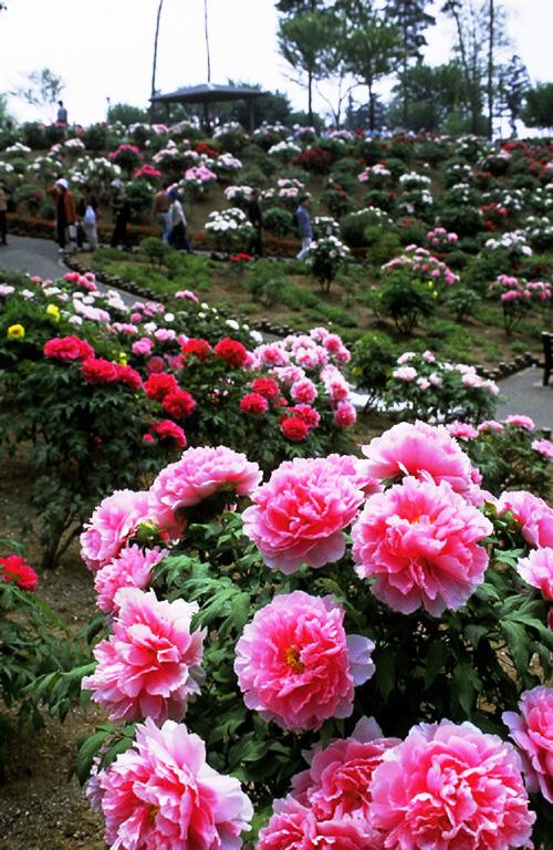 毎年4月の下旬頃から色鮮やかに咲き誇る。