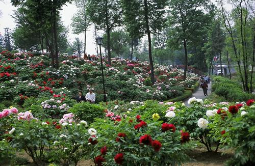 品種数や株数で日本最大級の約350種、約9,100株の色鮮やかなぼたんを植栽