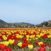 関東最大級のチューリップ畑!羽村市「チューリップまつり」が4/9~4/26開催