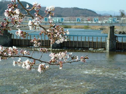 羽村堰に咲くさくら 「さくらまつり」(2015年3月26日(木)~4月12日(日))