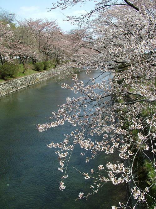 玉川上水沿いの桜 羽村市には玉川兄弟の像もある
