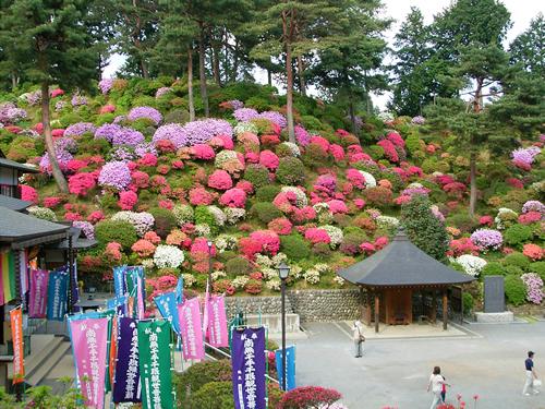 塩船観音寺のつつじは早咲き・中咲き・遅咲きと順に咲くように植栽