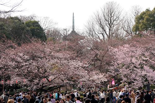 ソメイヨシノやカンザクラ、ヤマザクラなど約50種約1,200本の桜が咲く