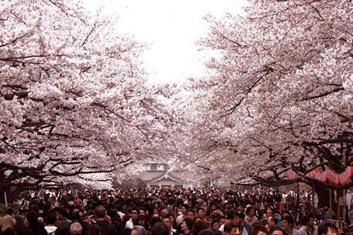 300mの桜並木が続く公園中通り