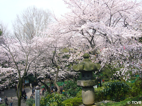 江戸時代から桜の名所として名高い上野公園