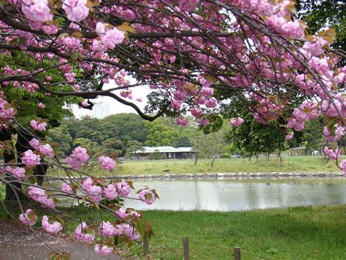 4月中旬には、「フゲンゾウ」「一葉」をはじめ、様々な種類のヤエザクラが咲き誇ります。